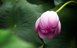 lotus-614493_960_720
