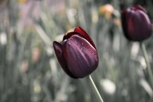tulip-670643_960_720